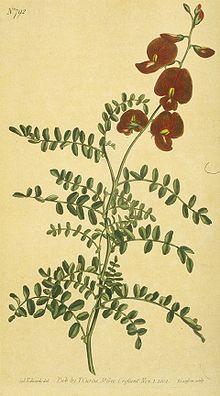 Swainsona_galegifolia_(Edwards)