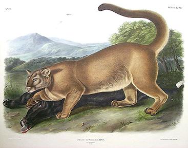 panther01